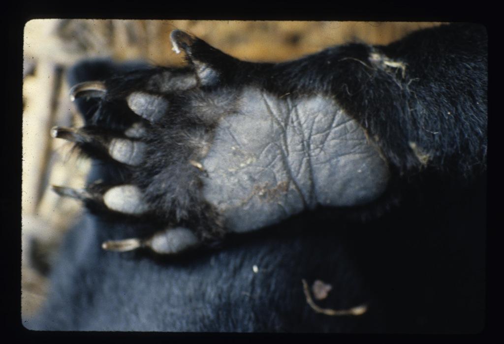 Yeti-Bear_Footprint